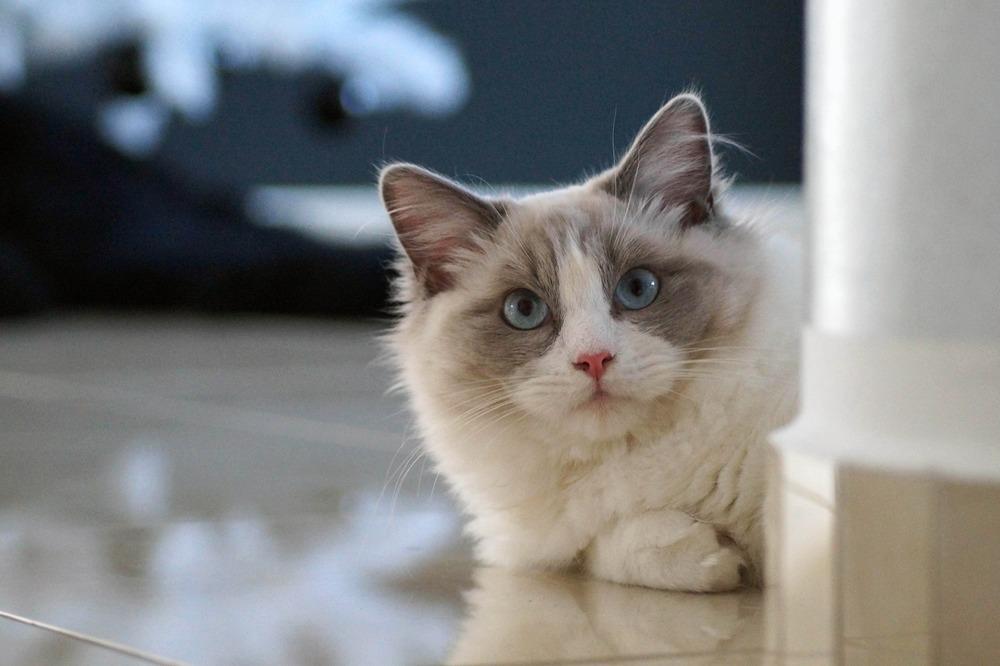 Grube futro ragdolli pięknie się prezentuje i zapewnia ochronę kotom i w czasie zimy i lata.