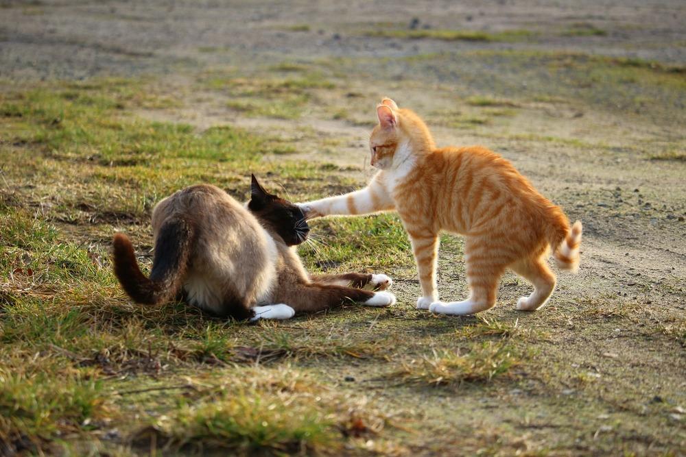 Dwa koty się biją. Jeden w typie kota tajskiego leży na ziemi, rudo- biały stoi nad nim i atakuje łapą w głowę. Rudo-biały kot jest napuszony.