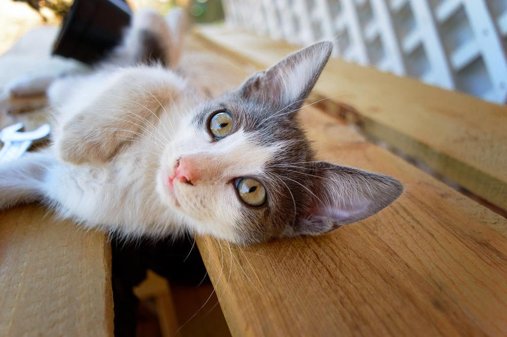Młoda kotka z figlarnym spojrzeniem, leży bokiem i zachęca do kontaktu