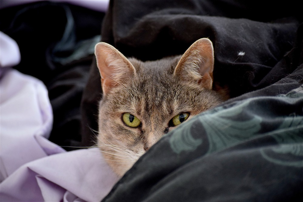 Bury kot leży zakopany w pościeli. Jedno oko ma zaropiałe. Jak poznać alergię u kota?