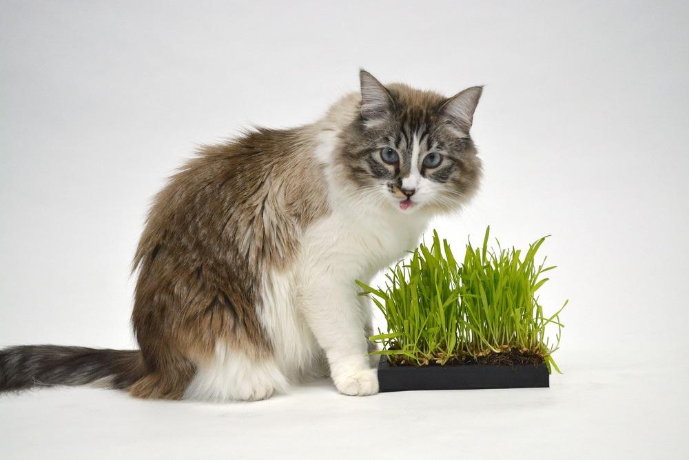 Trawa dla kota pomaga mu w pozbyciu się kul włosowych, tzw. pilobezoarów.
