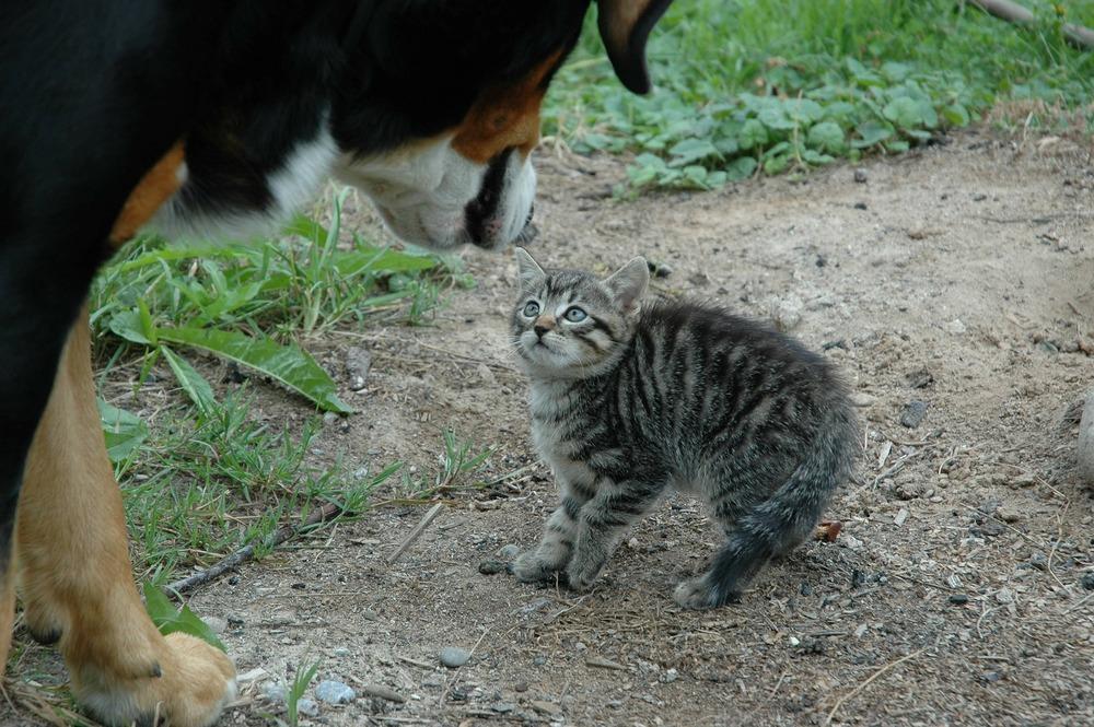Duży pies berneński pasterski zbliża się do małego kociaka. Kociak jest wystraszony i napuszony.