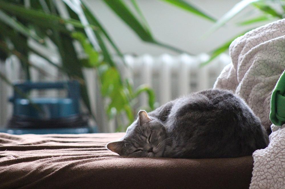 Bury kot śpi zwinięty w kłębek. Chroń swojego kota przed zjedzeniem trujących roślin.
