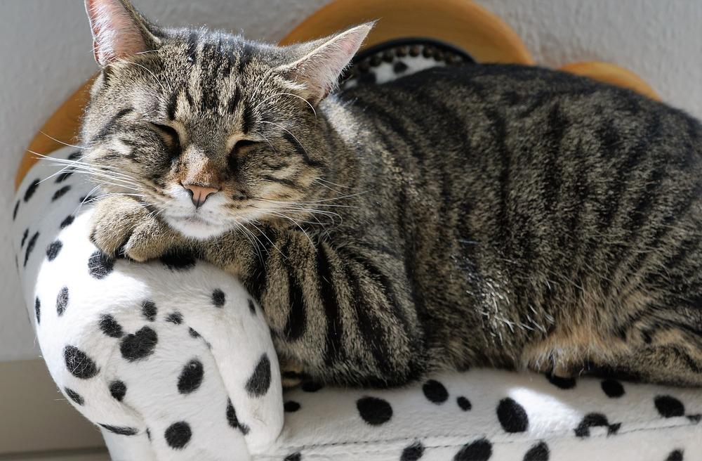 Zrelaksowany, bury kot leży na prawdziwym kocim tronie