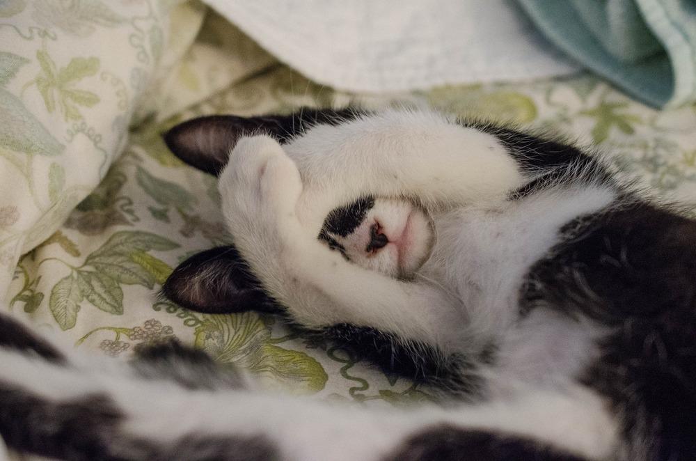 Kociak z plamą na nosie śpi na łóżku