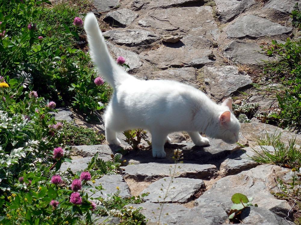 Kot z podniesionym ogonem wącha zapachy na ziemii.