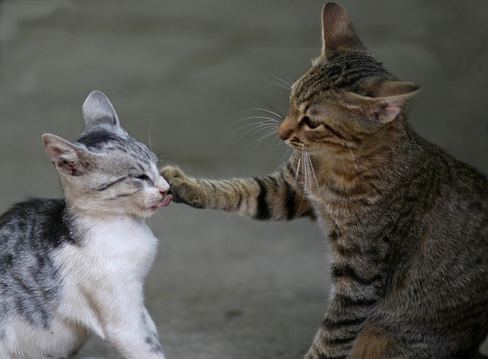 Dwa koty się bija. Większy, bury, atakuje łapą mniejszego kota. Są zdenerwowane, uch uszy są opuszczone do tyłu