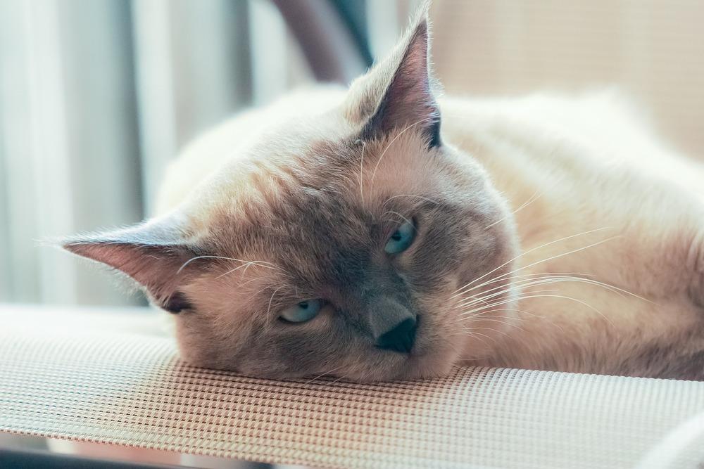 Dorosły kot rasy tajskiej o jaśniejszym umaszczeniu. Patrzy się niezwykle niebieskimi oczami.