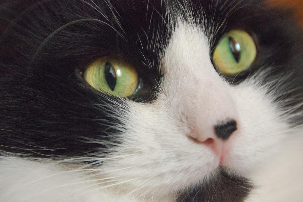 Kot z zielonymi oczami i dużą, czarną plamką na nosie
