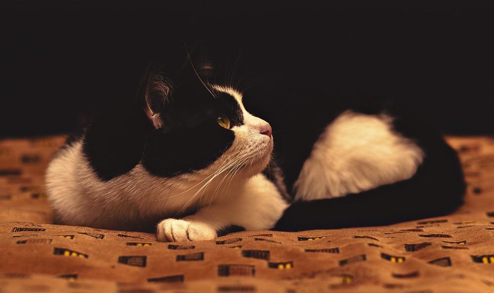 Zestresowany kot może się chować i syczeć. Koty są bardzo wrażliwe na stres i długotrwały może doprowadzić do problemów zarówno behawioralnych jak i zdrowotnych.