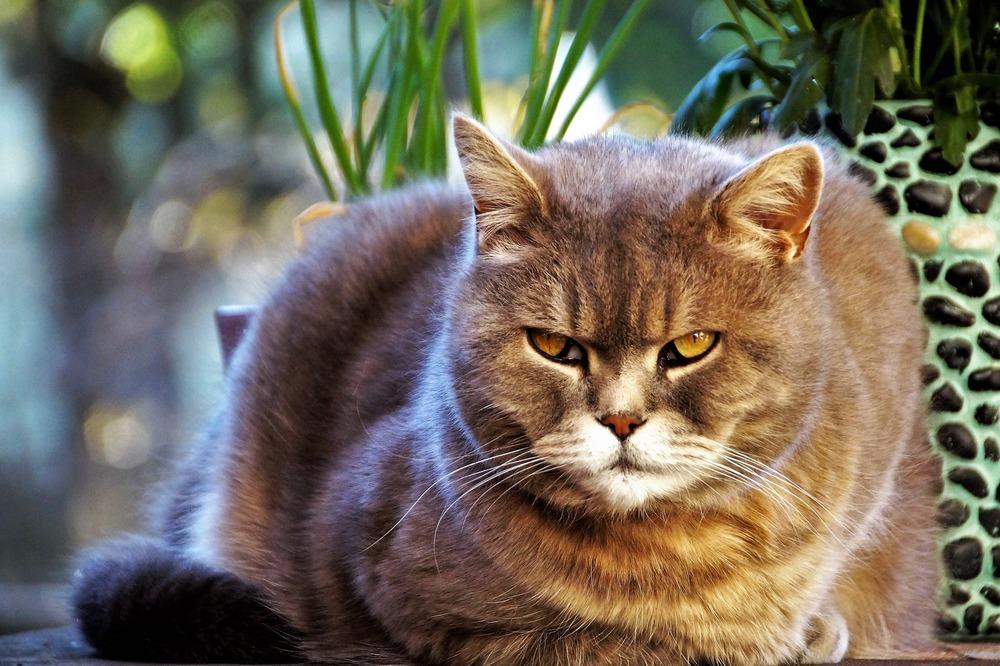 Widoczna trzecia powieka na oczach kota jest sygnałem niepokojącym, najczęściej oznaczającym złe samopoczucie, obniżenie odporności lub chorobę.