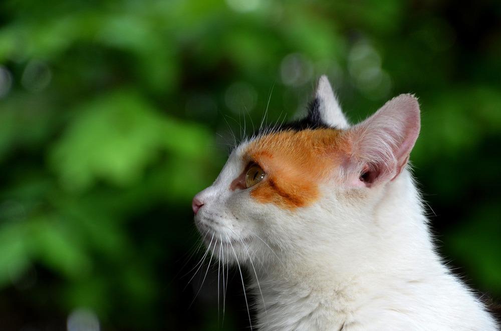 Kot o prostych uszach z widocznym zewnętrznym ujściem przewodu słuchowego.