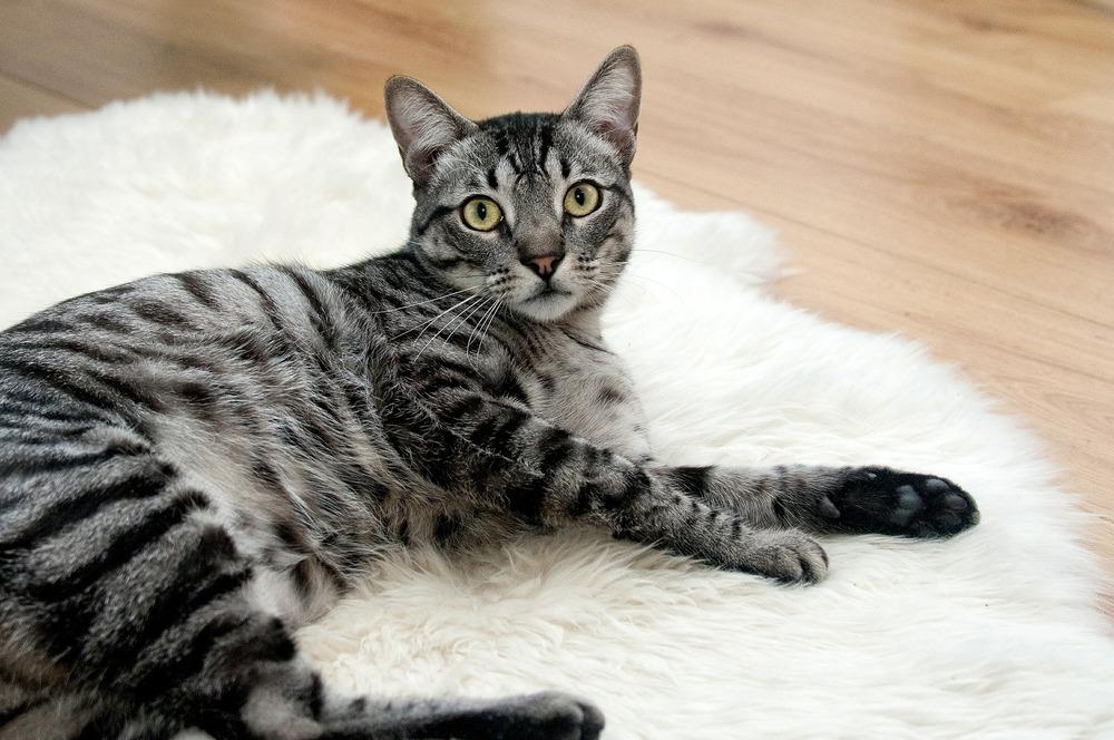 Koty niewychodzące również mogą złapać pasożyty, np. przyniesione przez opiekunów na butach. Co najmniej raz w roku należy badać kał kota i w razie potrzeby go odrobaczyć.