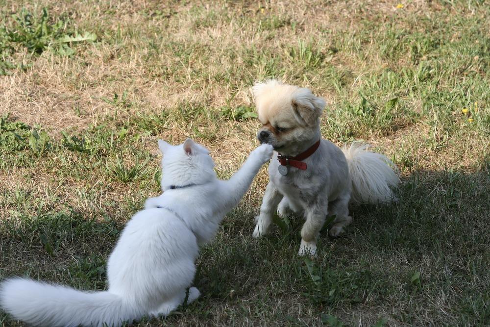 Kot drapie przednią łapą ogolonego szpica miniaturowego po nosie. Kot jest w szelkach, pies puszczony luzem.