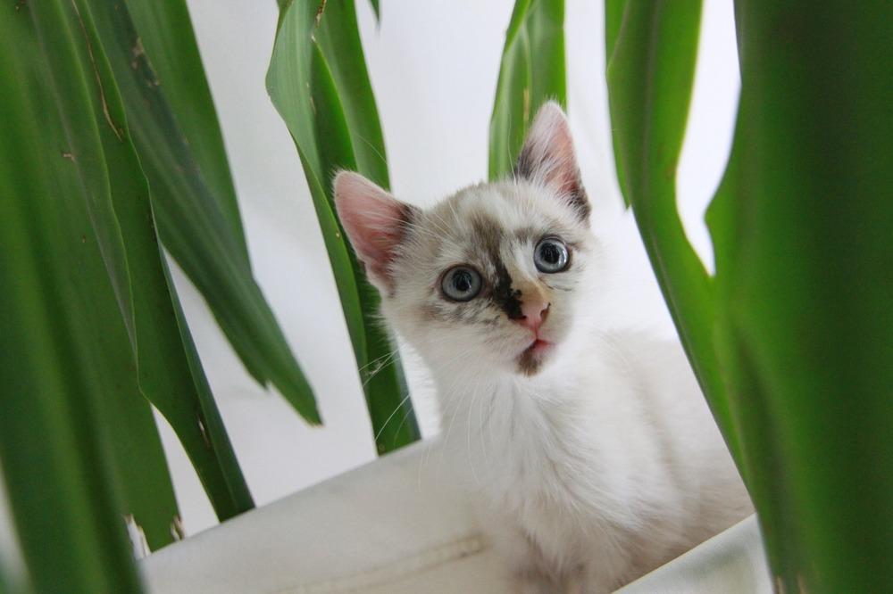 Biały kot z niebieskimi oczami wśród niebezpiecznych dla niego roślin.