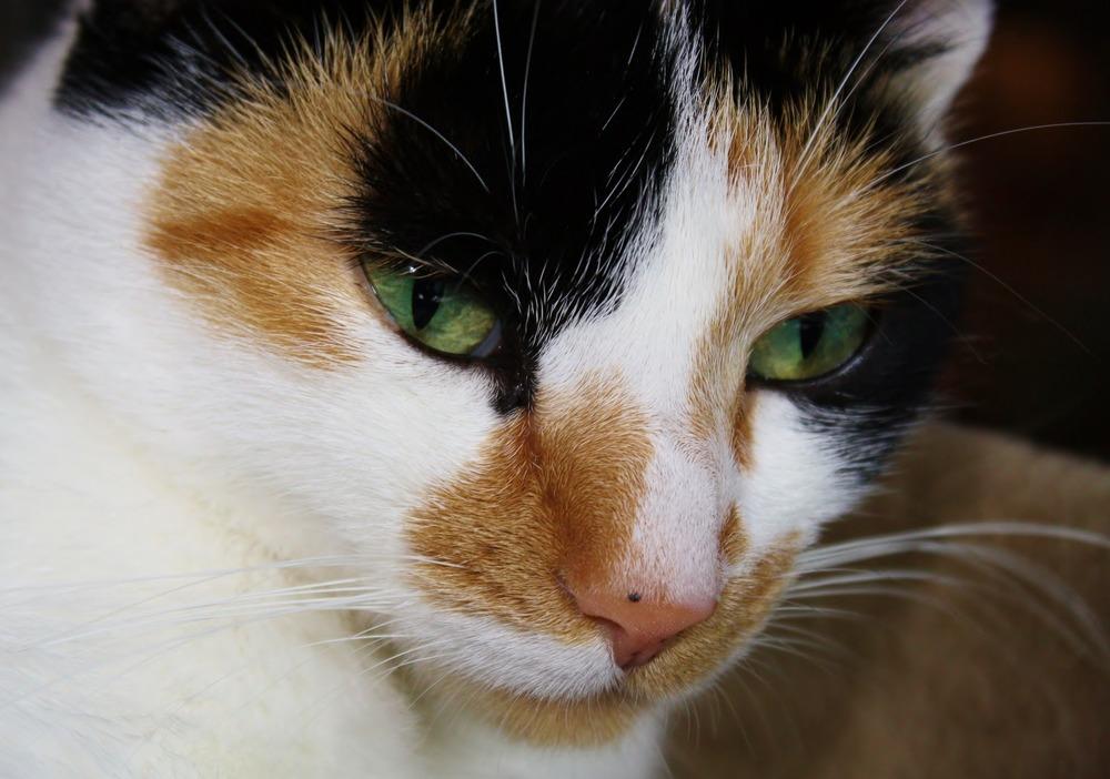 Zbliżenie na pyszczek kota tricolor i na czarną plamkę na jego różowym nosie