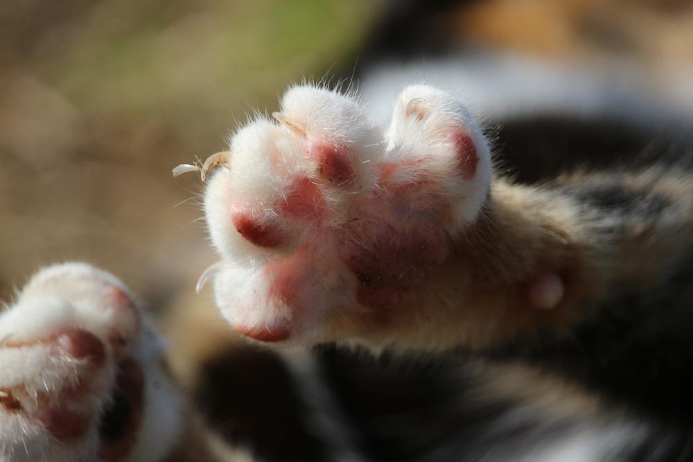 Nosicielami bakterii wywołującej chorobę kociego pazura najczęściej są koty zaniedbane oraz te wychodzące samopas na dwór.