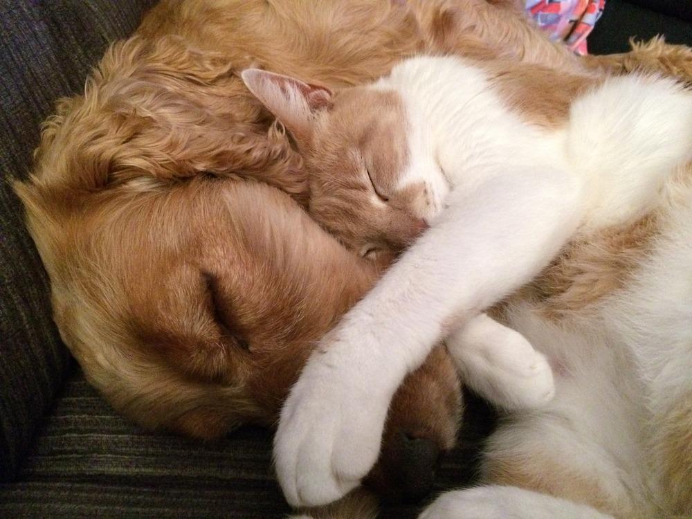 Biało-rudy kot śpi przytulony do spaniela.
