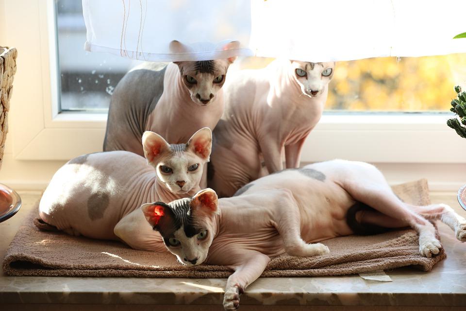 Rodzina kotów rasy Sfinks. Cały przekrój pokoleniowy.