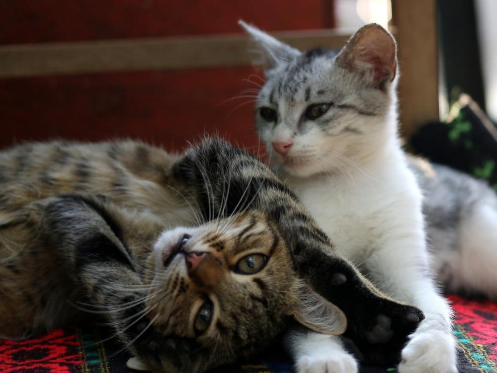 Dwa koty leżące obok siebie. Koty są zsocjalizowane i dobrze się czują w swoim towarzystwie, co widać po ich mowie ciała - rozluźnione wibrysy i mięśnie, przymrużone oczy, lekka postawa ciała. Jeden z nich zaczepia do zabawy.
