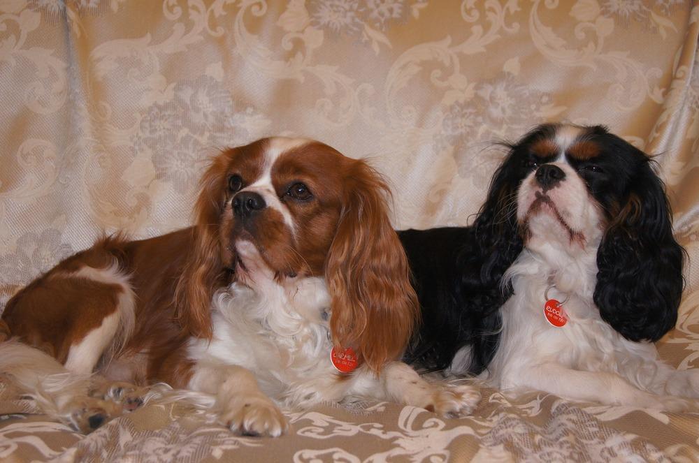 Dwa cavaliery leżą obok siebie, jeden o umaszczeniu blenheim, a drugi tricolor