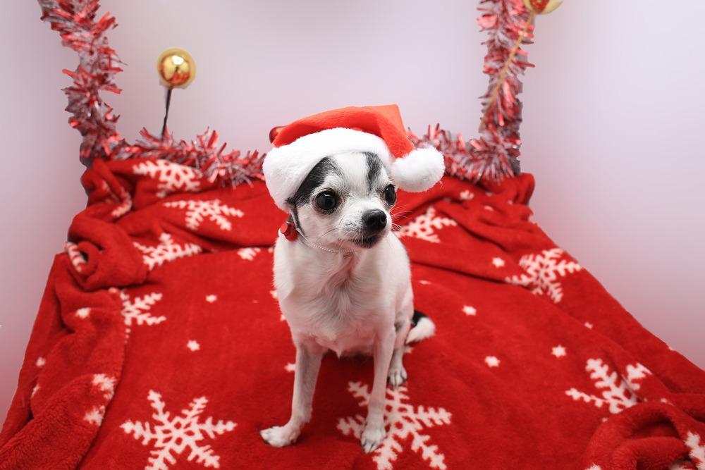 Psy ras małych mogą w mroźne dni potrzebować dodatkowej ochrony, w postaci ubranek. Prezentem dla psa na Święta może więc być świąteczne ubranko.
