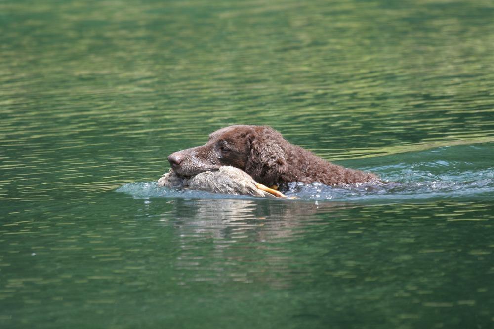 Curly coated retrievera należy do psów z sekcji aporterów, płochaczy i psów dowodnych. Te psy łapały zwierzynę w wodzie.