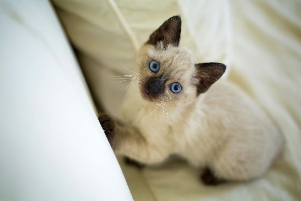 Kociak rasy tajskiej. Od małego te koty są rozgadane i swawolne.