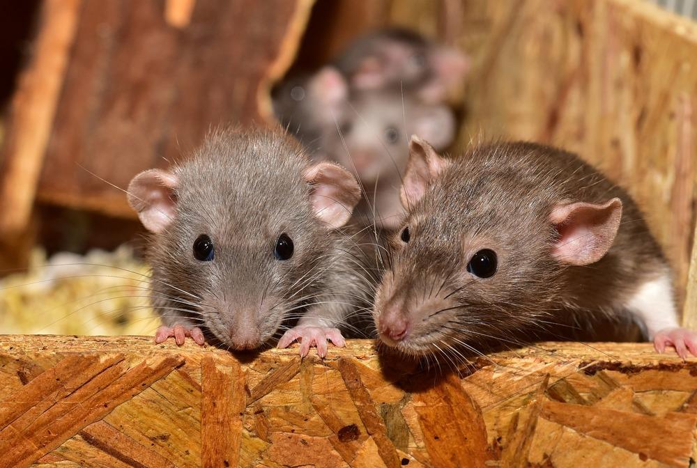 Szczury w klatce. Dwa z nich podgryzają drewno.