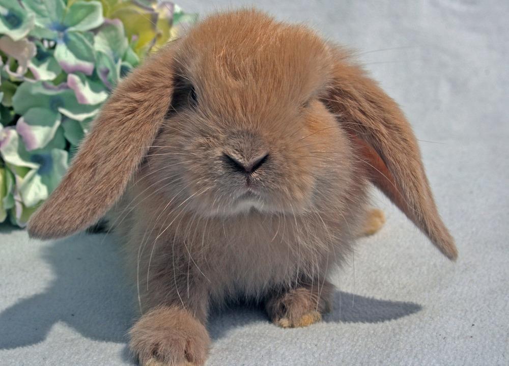 Uroczy królik zwisłouchy patrzy się wprost w obiektyw. Króliki mini lop lubią kontakt z człowiekiem.