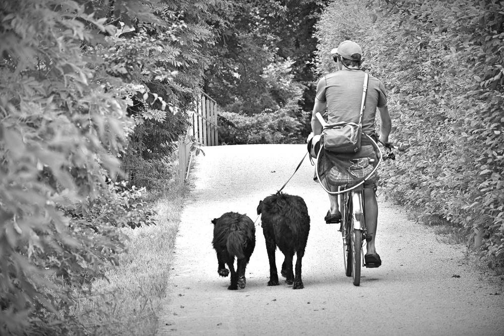 Pan jadący na rowerze trzyma smycze dwóch psów biegnących obok niego