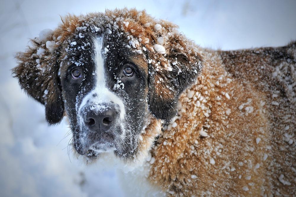Bernardyn cały umazany w śniegu. Gruba i gęsta sierść chroni psa przed zimnem, ale i nadmiernym ciepłem.