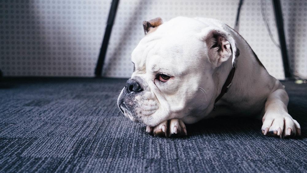 Ból brzucha i osowiałość łączą się z biegunką u psa. Zapewnij psu ciepło i spokój, aby mógł dojść do siebie.