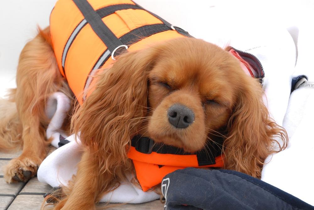 Pies w kamizelce ochronnej. Lot dla psów jest bardzo stresujący, warto przed skonsultować się z weterynarzem w celu dobrania preparatów wyciszających i sprawdzenia funkcji serca psa.