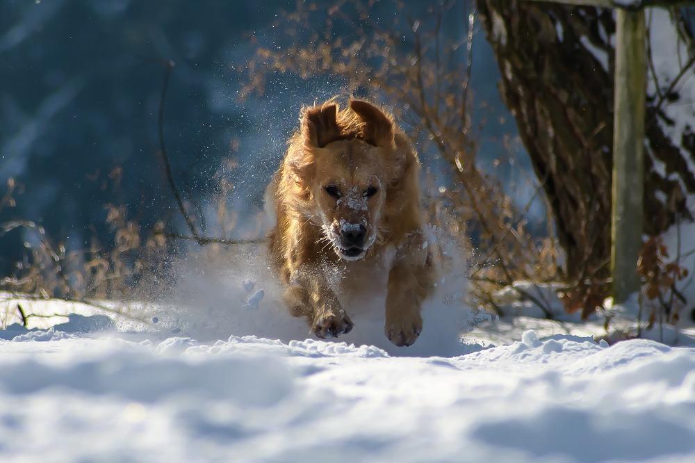 Golden retriever biegnie pośród śniegu. Dla Goldena krótkotrwałe wystawienie na mróz nie jest straszne.