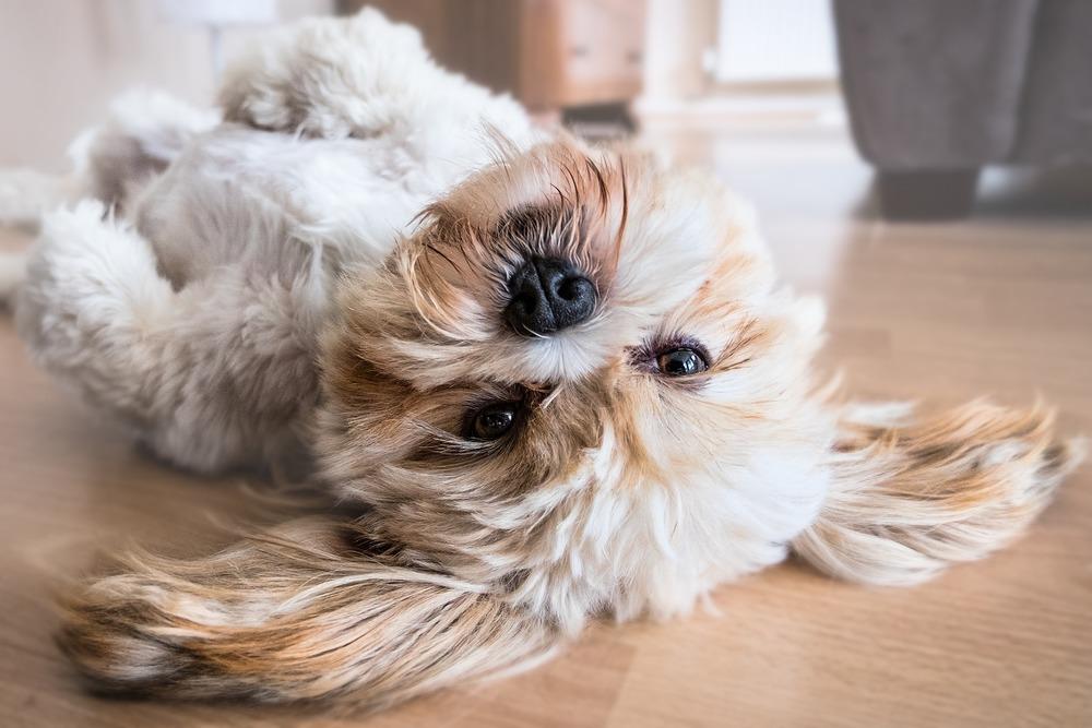 Małe psy dobrze czują się w mieszkaniach w bloku, pod warunkiem zapewnienia im odpowiedniej dawki ruchu.