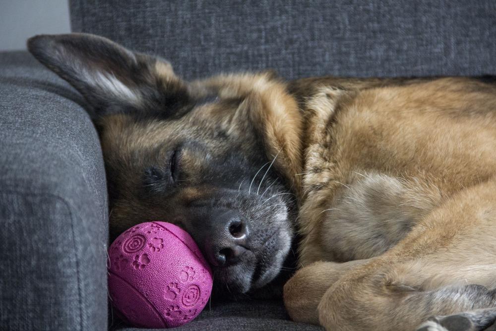 Młody owczarek niemiecki zmęczony śpi na kanapie. Przy pysku dalej pilnuje i trzyma piłeczkę.