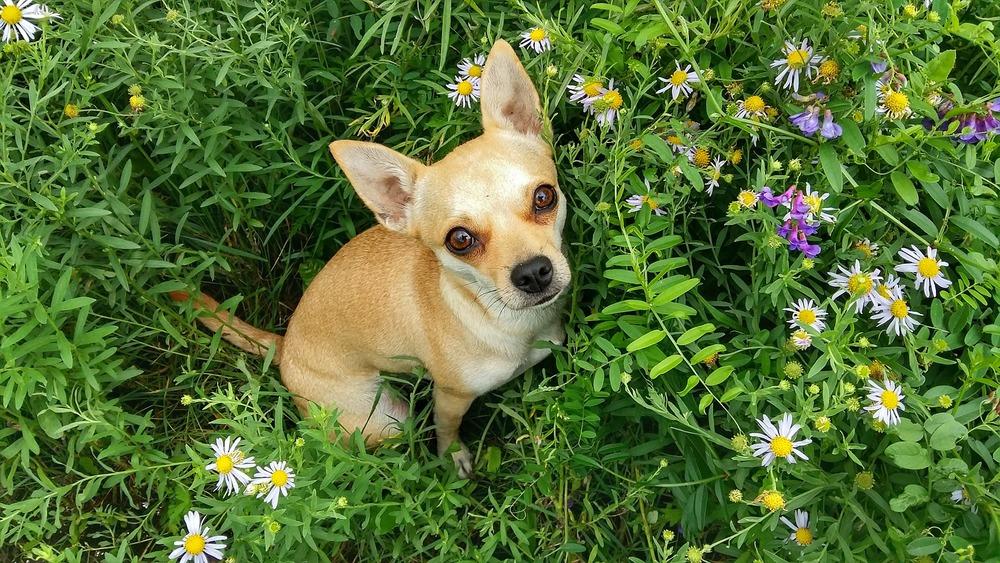 Mały kundelek siedzi na łące, wśród polnych kwiatów i ziół