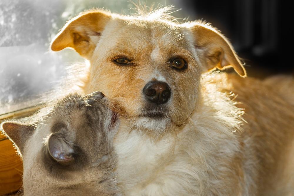 Kociak liże dorosłego psa. Aby były szczęśliwe powinny mieć kontrolowany stan zdrowia.