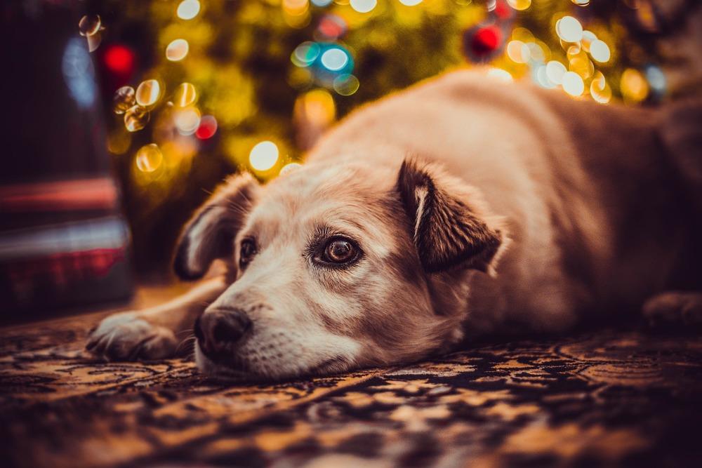 Święta mogą być dla psa stresującym przeżyciem. Poświęćmy więc pupilom sporo czasu i zapewnijmy odrobinę spokoju.