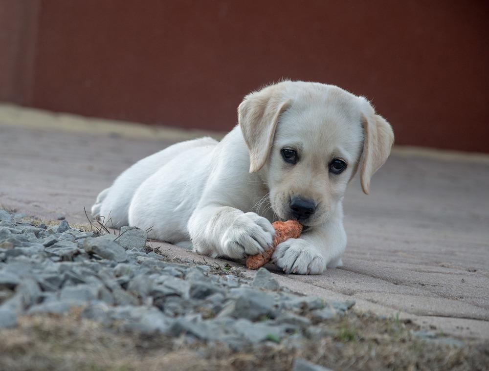 Szczeniak labradora obgryza marchewkę. Marchewka jest dobra jako gryzak, wzmacnia szczęki i jest zdrowa.