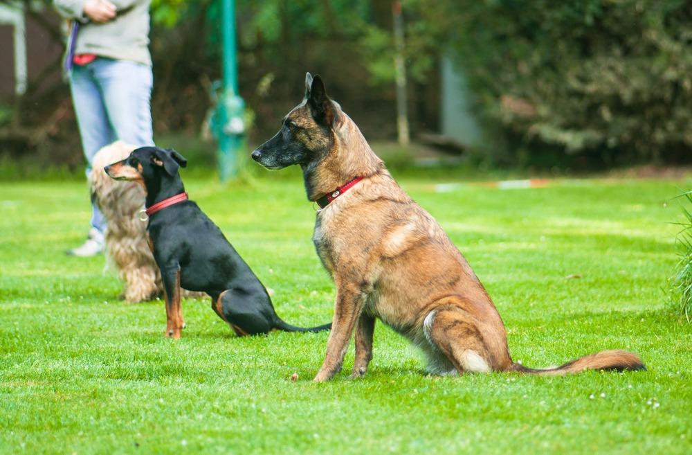 Psia szkoła posłuszeństwa. Cztery psy uczą się warowania siedząc.