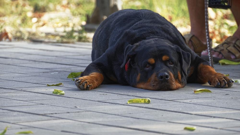 Otyły pies. Otyłość jest jednym z głównych czynników powodujących choroby stawów i problemy z chodzeniem.