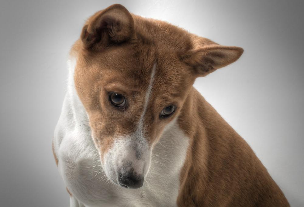 Psy rasy basenji nie szczekają, a wydają charakterystyczne dźwięki, przypominające jodłowanie.