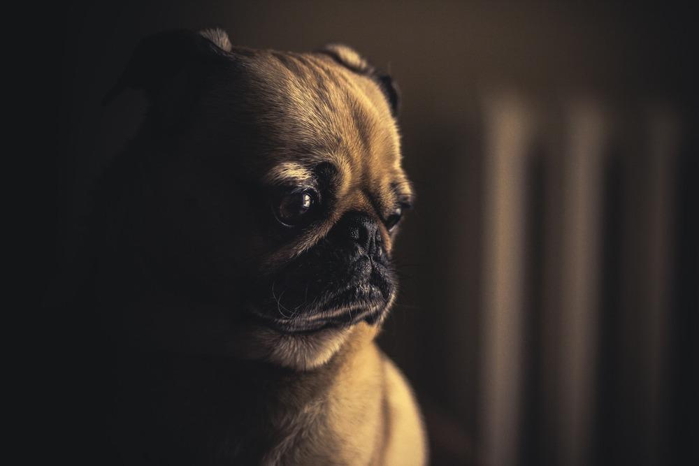 Smutny mops na w zaciemnionym pokoju. Mopsy są rasą psów dosyć chorowitą, często mogą odczuwać dyskomfort szczególnie ze strony układu pokarmowego.