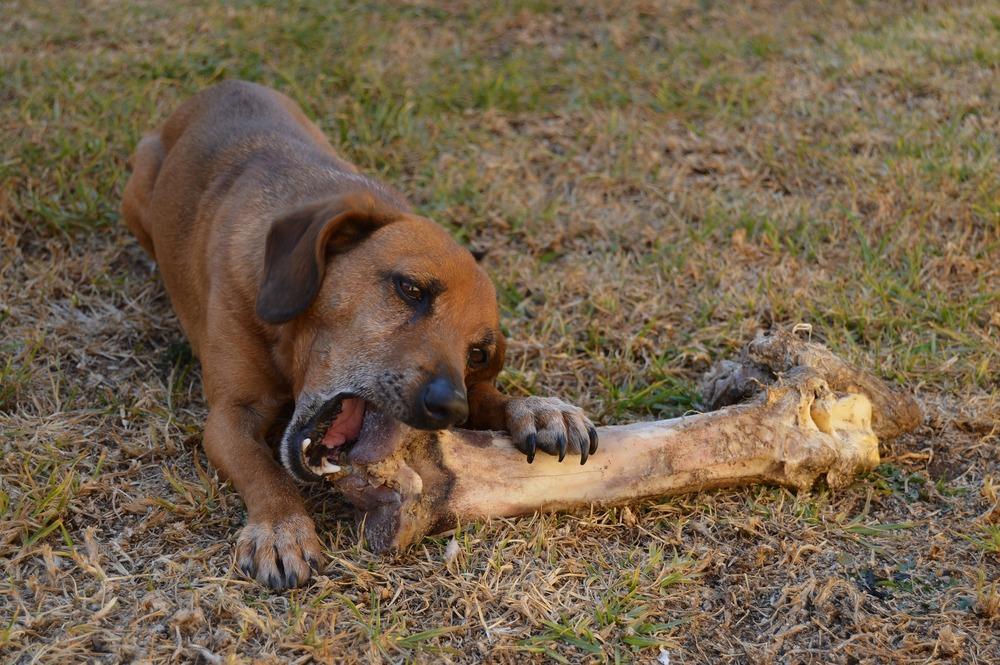 Kundelek próbuje gryźć ogromną kość. Psom nie należy podawać kości gotowany, po obróbce termicznej, ani tym bardziej przyprawionych. Psom można podawać kości mięsne, czyli surowe z dużą ilością mięsa.
