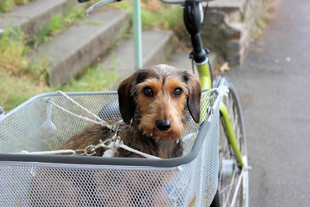 Pies w koszyku, dokładnie przypięty smyczami do koszyka i roweru. Bezpieczeństwo podczas podróży najważniejsze