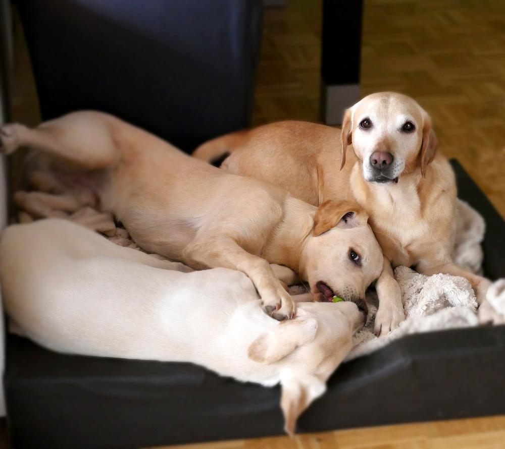 Psia mama z dwójką rozrabiających maluchów rasy labrador retriever.