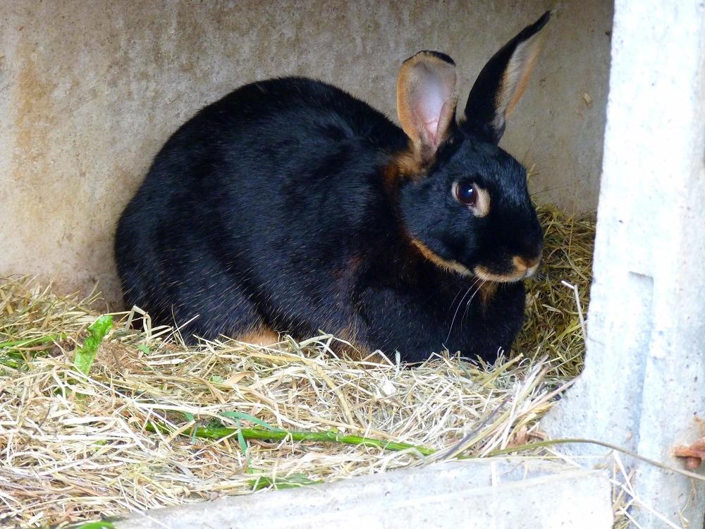 Dorosły, duży królik leży na sianku. Siano może stanowić również ściółkę dla królików, ale wtedy szczególnie trzeba dbać o jej czystość i higienę.