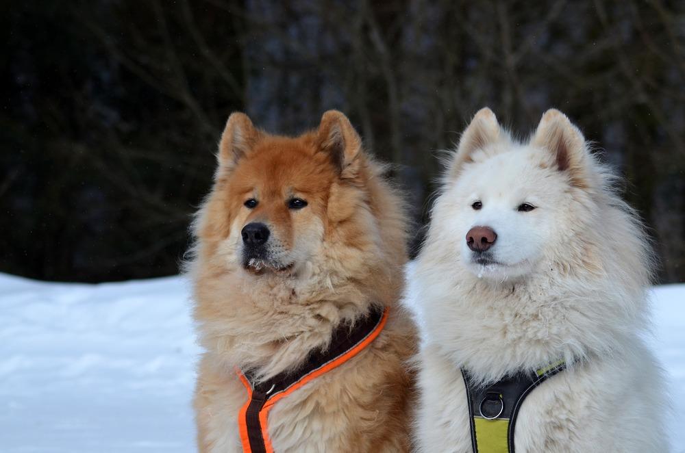 Różne maści psów rasy Samojed stojące obok siebie - jeden remowy, drugi biały